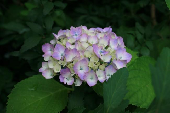 0530 紫陽花
